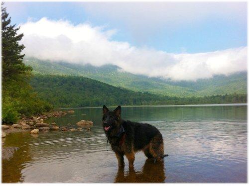 "German Shepherd Miss Kiara   ""True Munster Abbey Selective Breeding"""