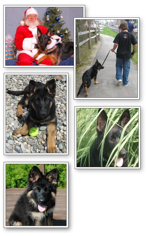 Munster Abbey German Shepherd Puppies in Lewiston, Maine area