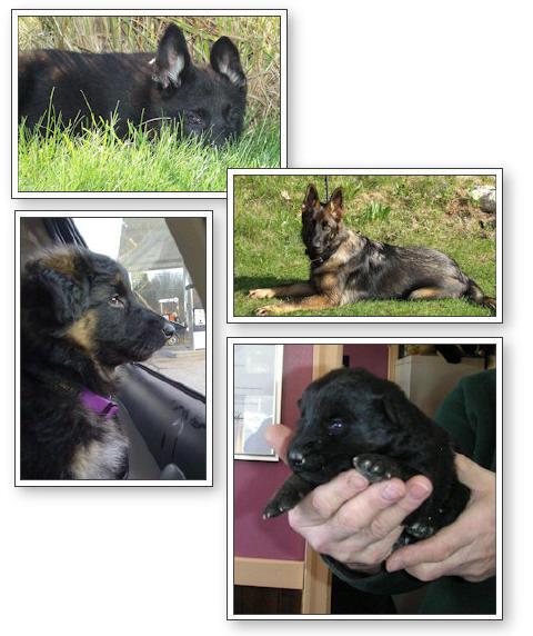 Munster Abbey German Shepherd Puppies